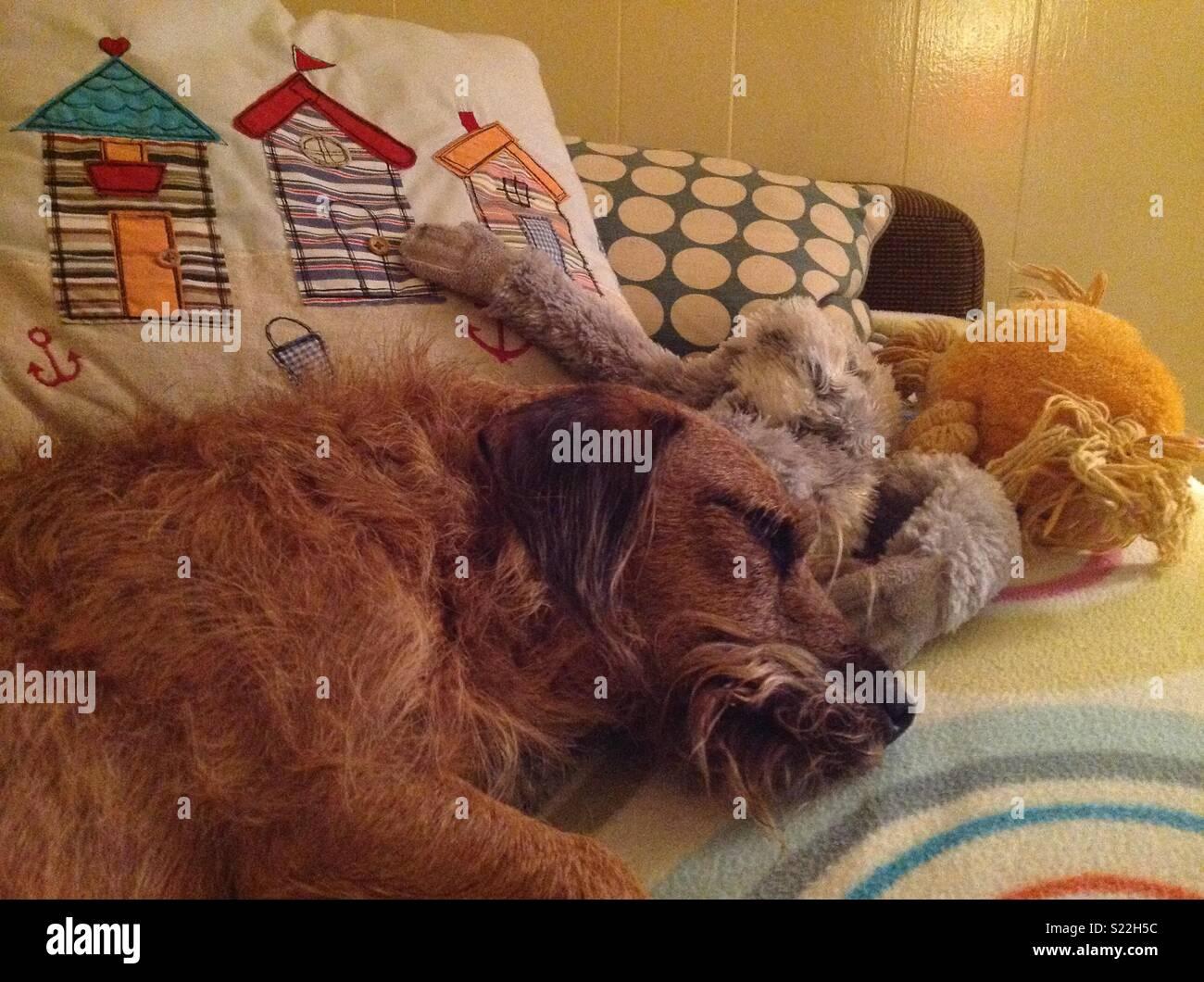 Dog asleep with toys - Stock Image
