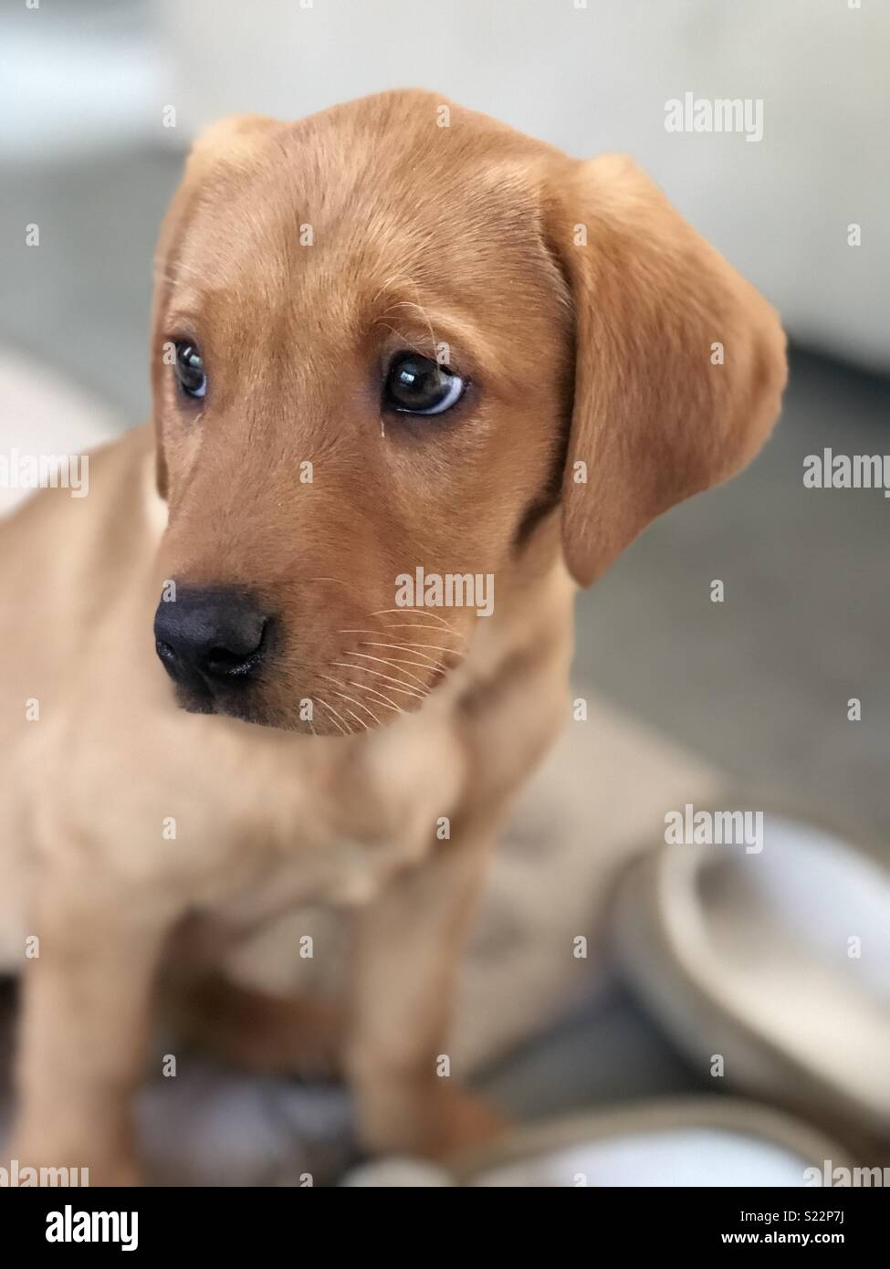 Fox Red Labrador Puppy Stock Photo Alamy