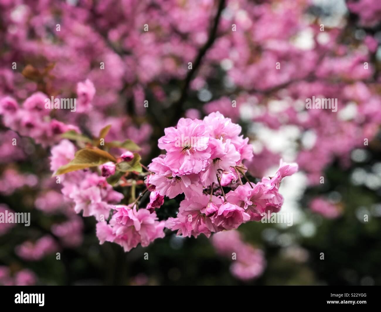 Wild Cherry Prunus Avium White Blossom Tree Nursery Uk
