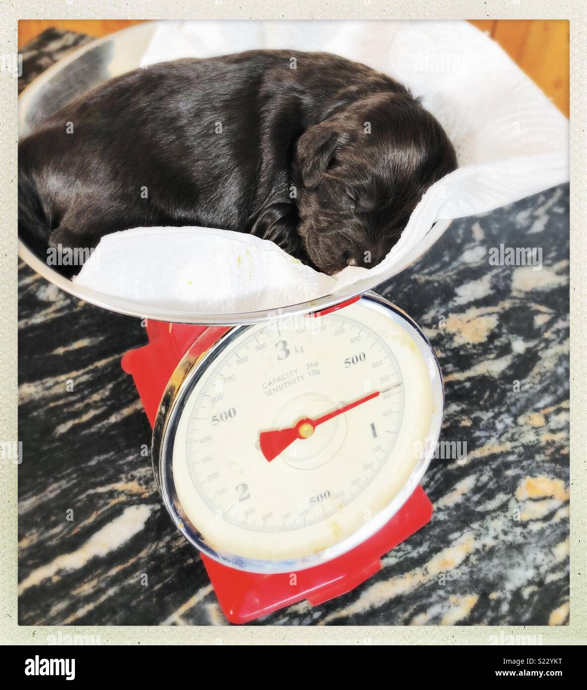 Springerdoodle puppy being weighed on a set of kitchen scales Stock