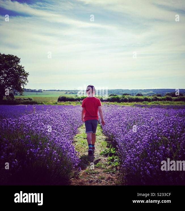 Child walking through lavender fields in English countryside - Stock Image