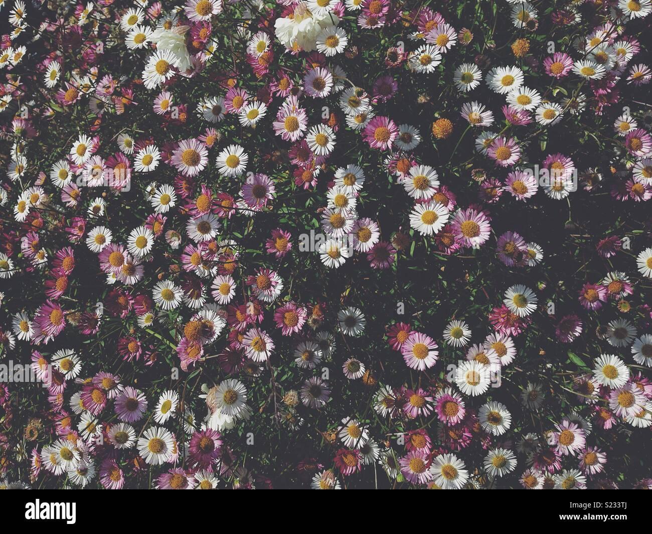 Daisy daisy - Stock Image