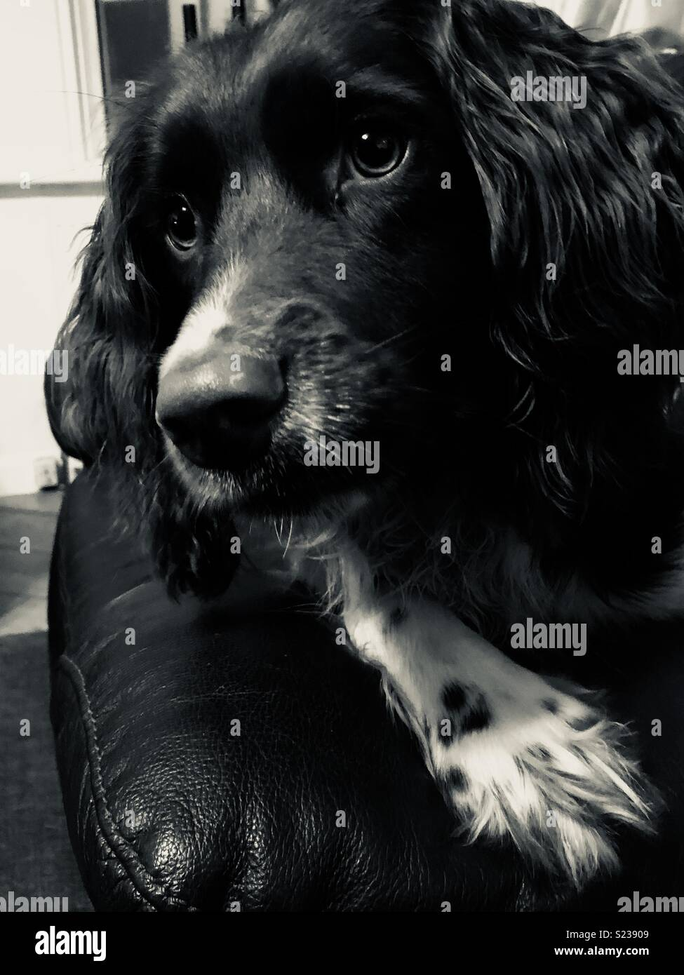 Springer spaniel dog looking sultry and brooding in black and white. - Stock Image