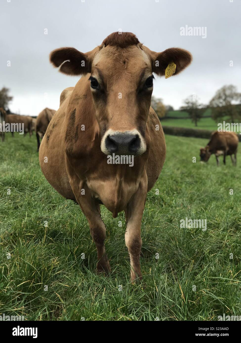 Jersey cow - Stock Image