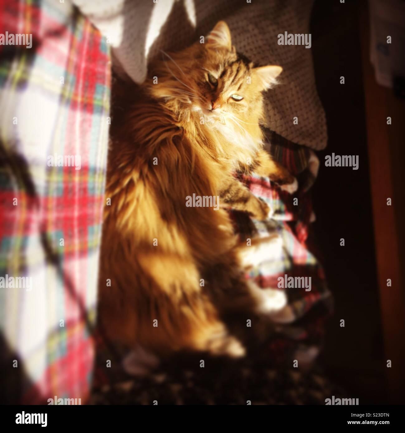 Fluffy cat enjoying the sunshine - Stock Image