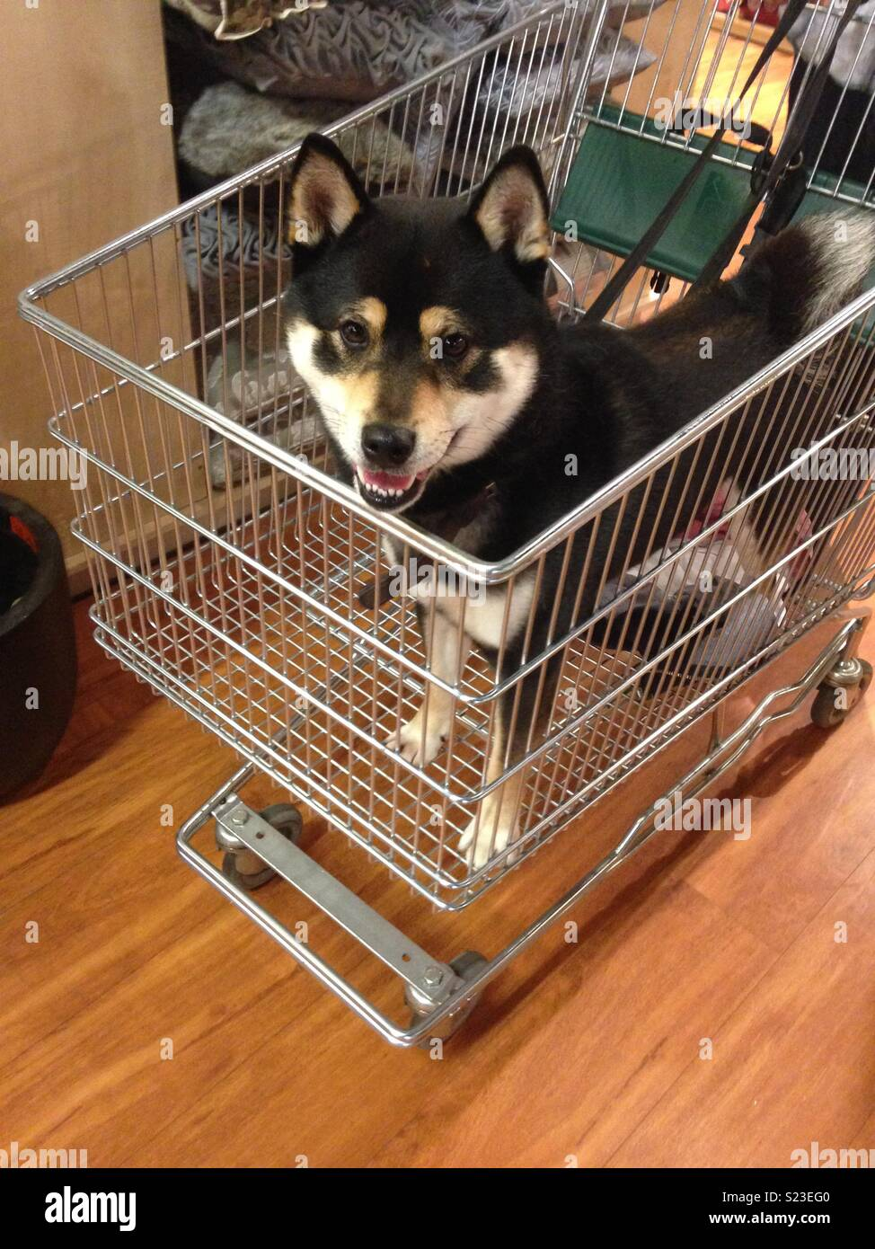Dog in a shopping trolley Stock Photo: 311093216 - Alamy