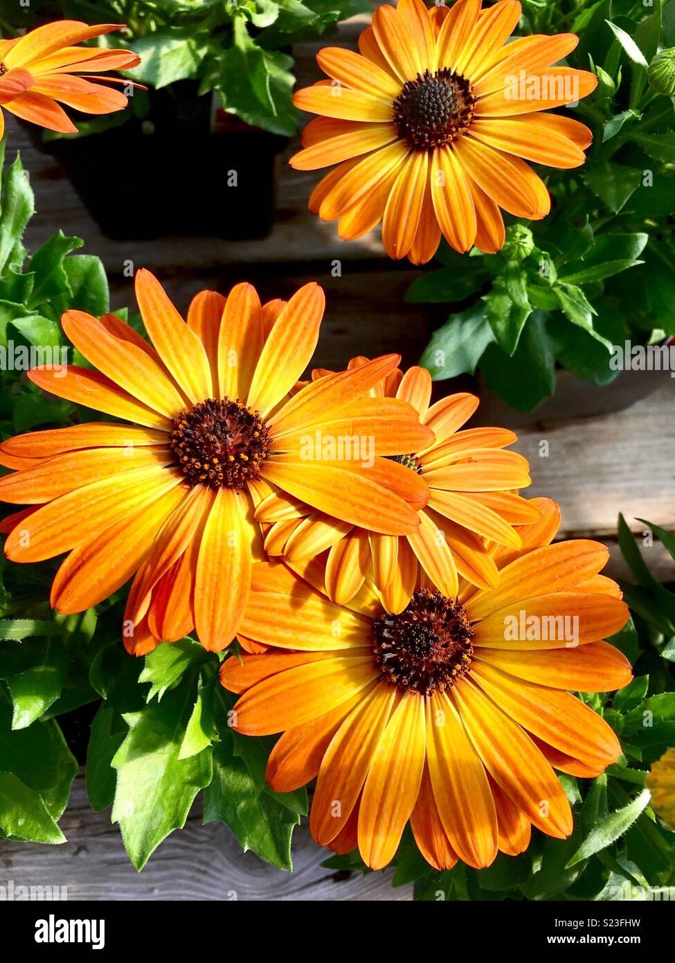 Margarita orange flair cape daisies - Stock Image