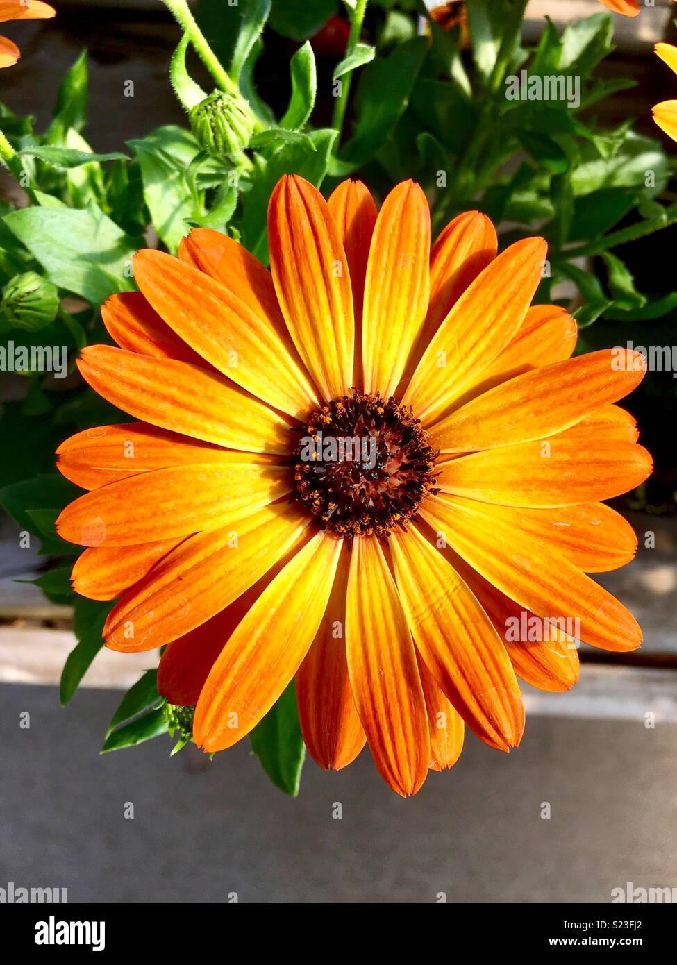 Margarita orange flair cape daisy - Stock Image