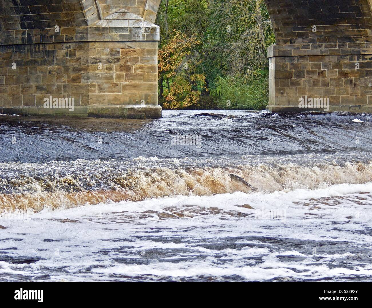 Leaping Salmon - Stock Image