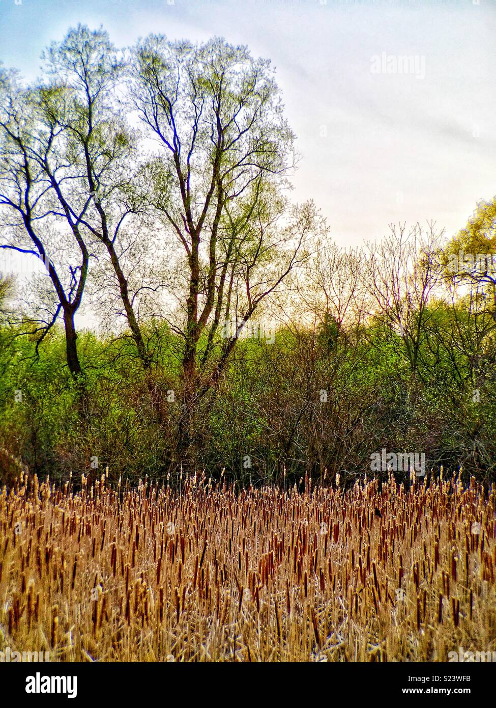 Marshland with cattails and deciduous trees Stock Photo