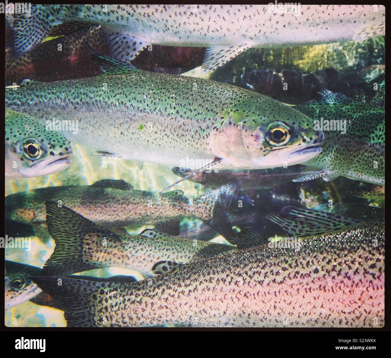 Something fishy...California Steelhead - Stock Image