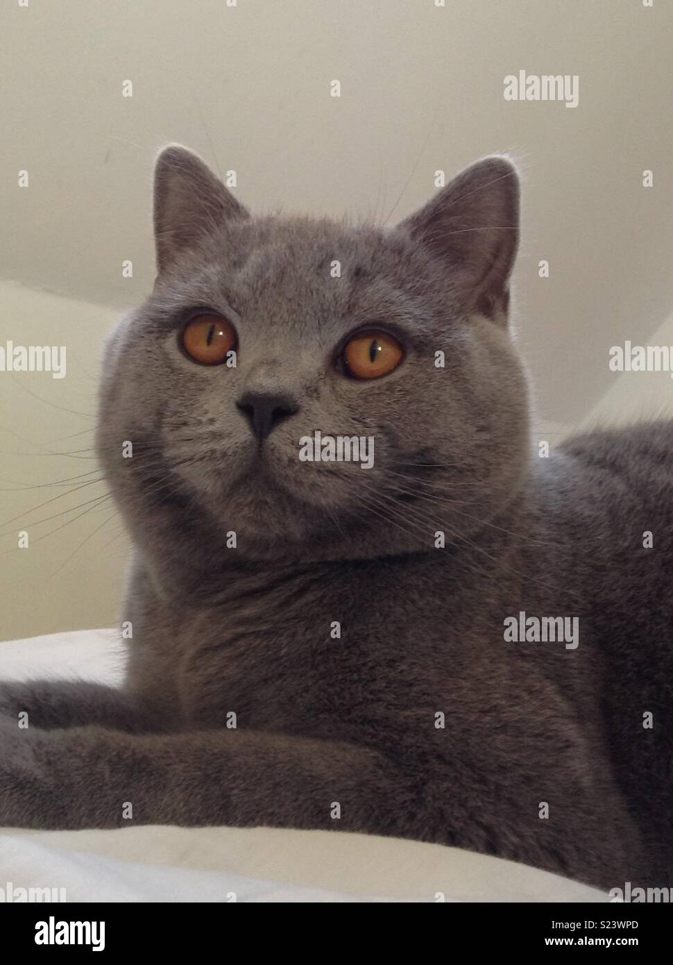 Gorgeous British Shorthaired Cat - Stock Image