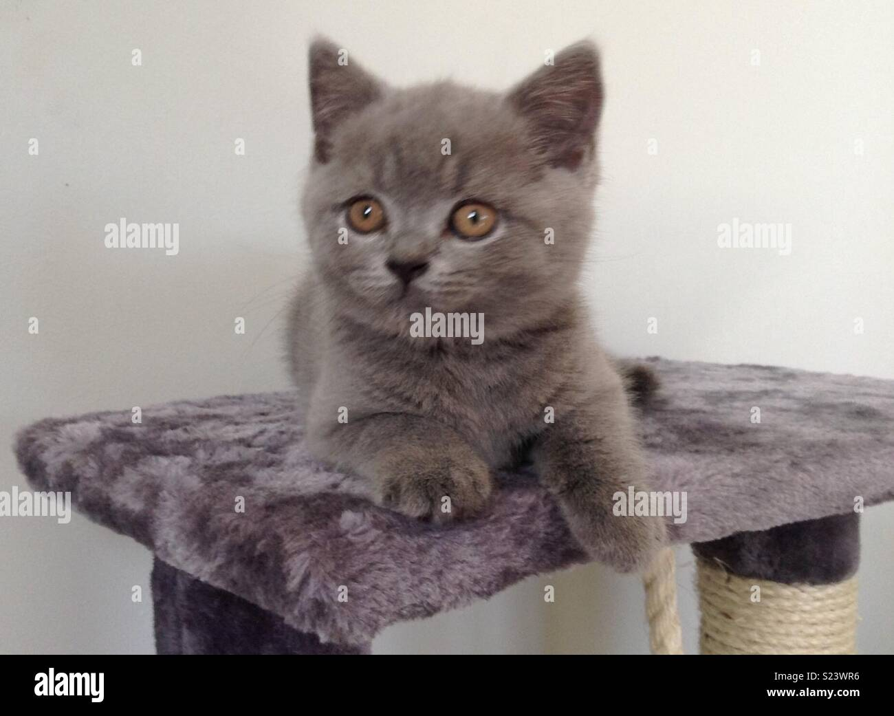 British Shorthaired Blue Kitten - Stock Image