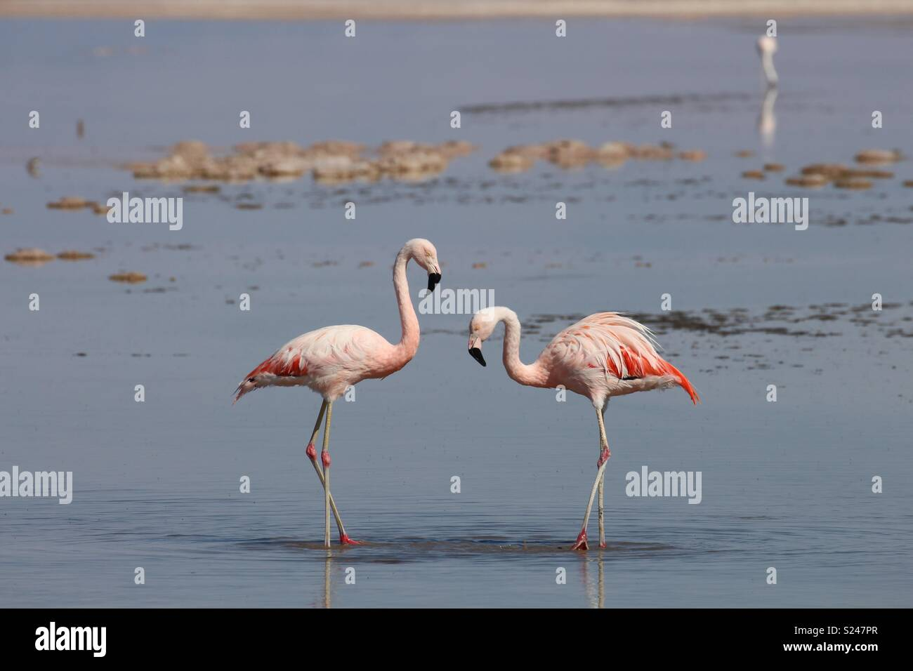 Flamingoes in Réserva National Los Flamencos - Stock Image