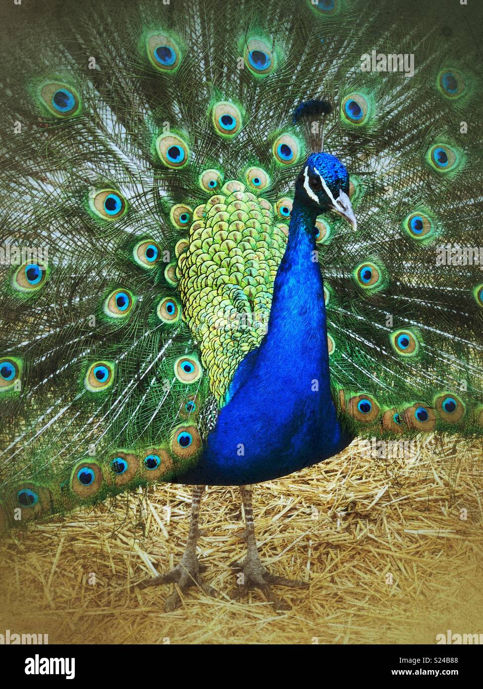 Closeup portrait of blue male peacock full body with fanned tail feathers - Stock Image