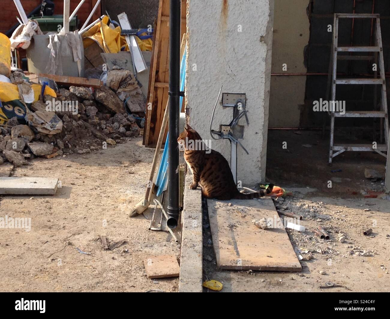 Bengal cat overlooking construction work like a foreman - Stock Image