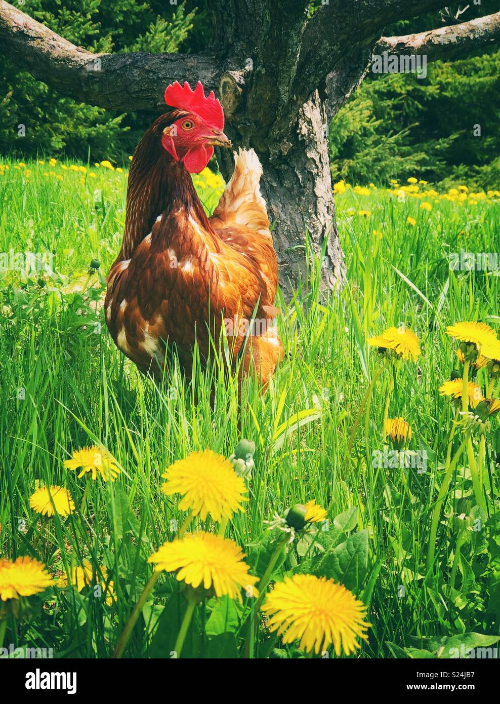 Rhode Island Red free range chicken in grass with bright yellow dandelions and apple tree trunk behind - Stock Image