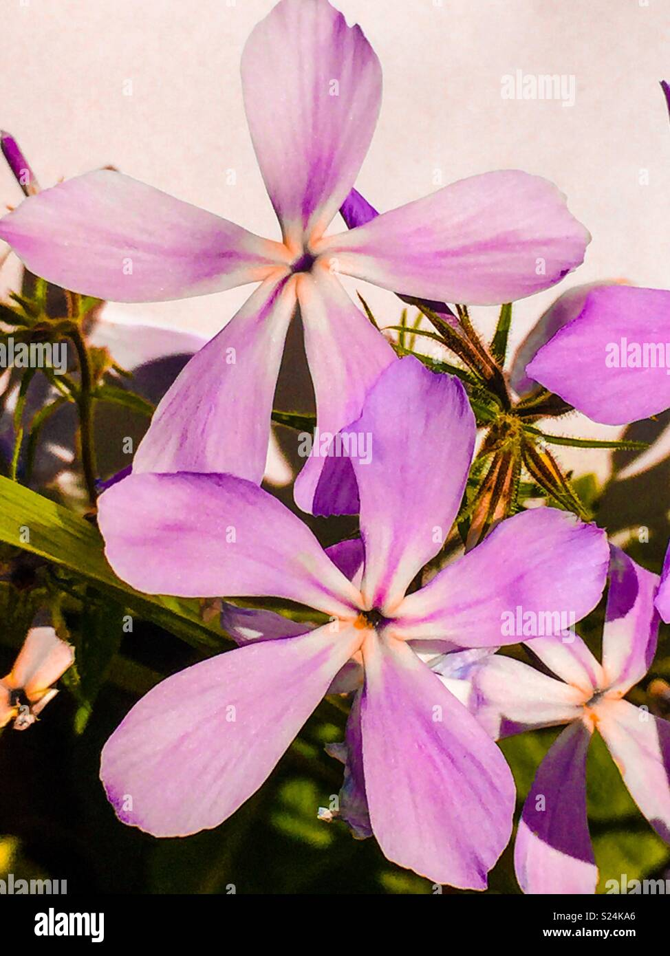 Flower with five petals stock photos flower with five petals stock purple 5 petal flower stock image mightylinksfo