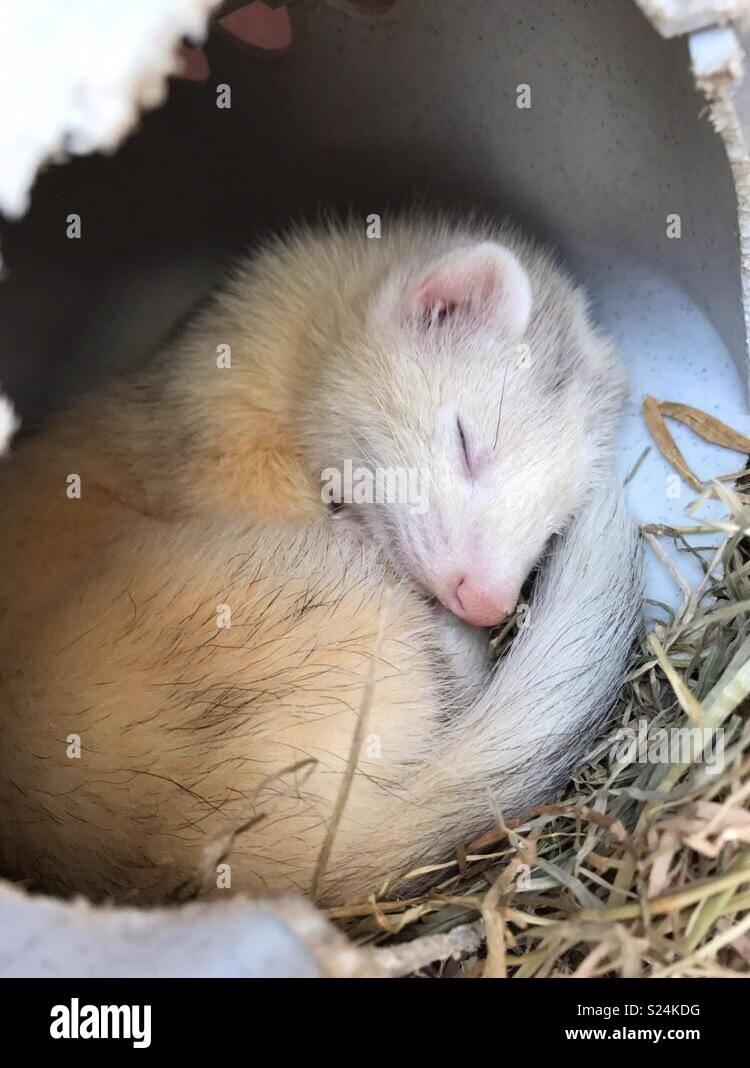 Sleepy ferret - Stock Image