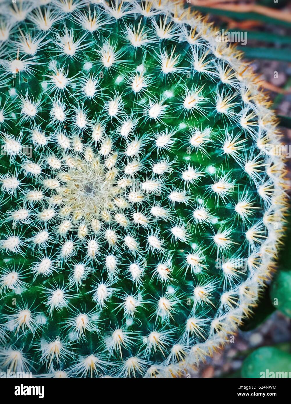 Radial spiral symmetry top view of a cactus plant - Stock Image