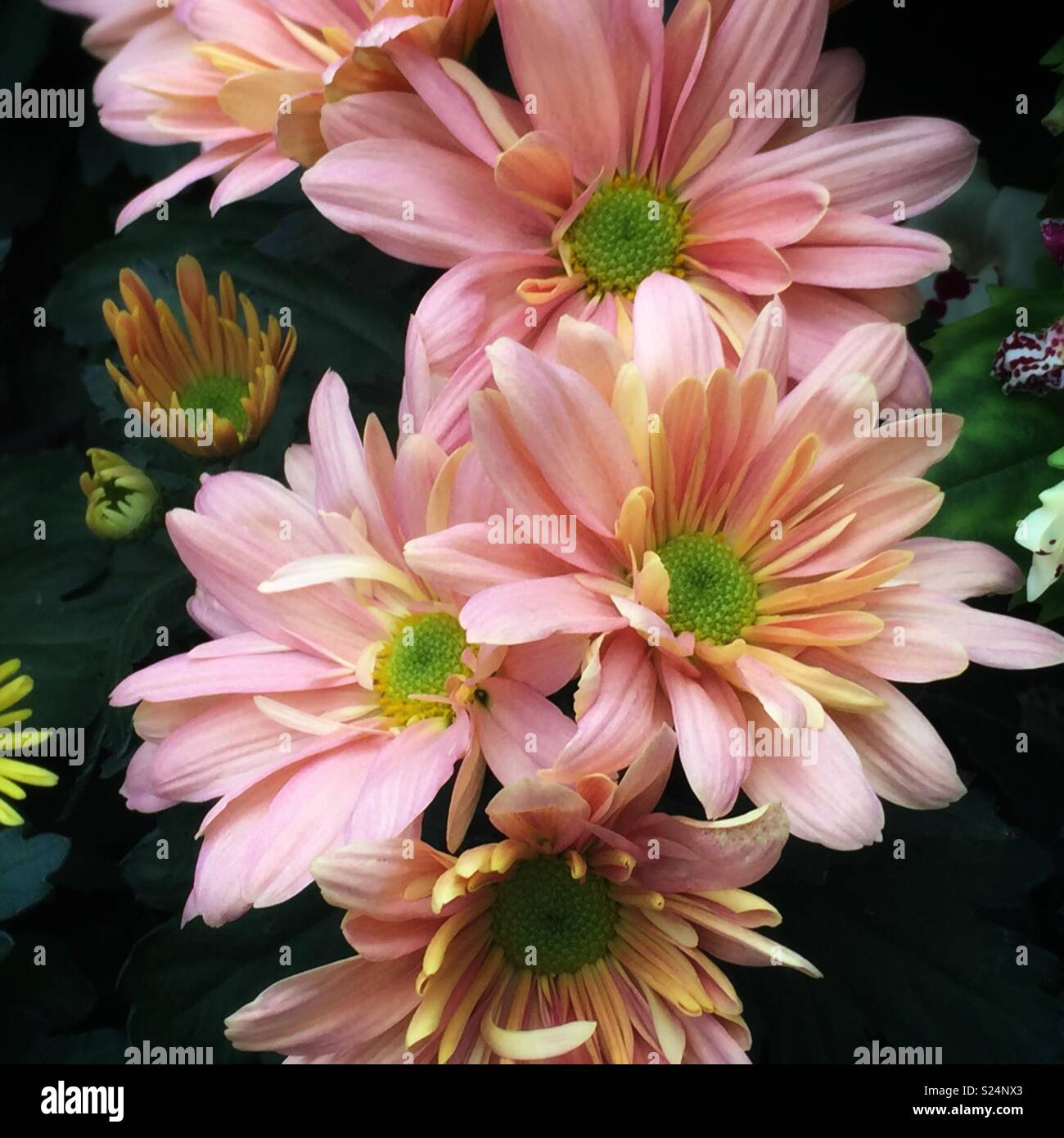 Gentle cluster of white , pink and yellow chrysanthemums - Stock Image