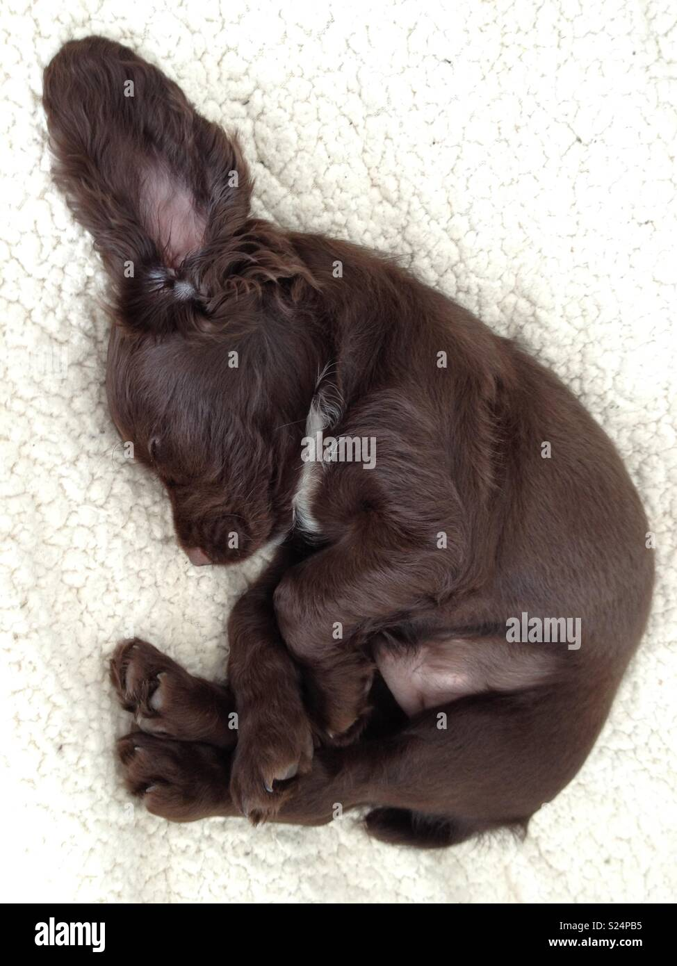 Tiny puppy in bed - Stock Image
