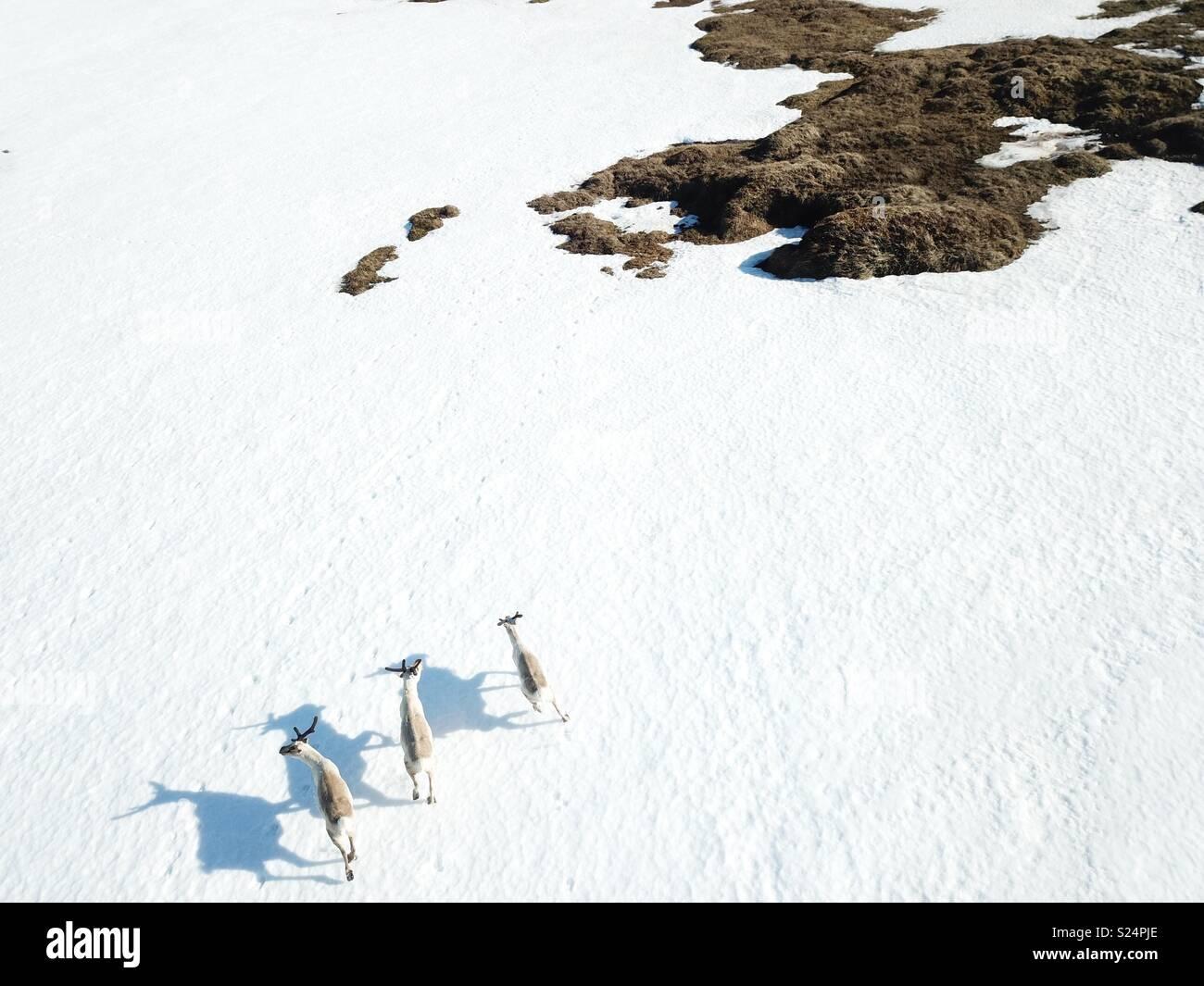 Reindeers - Stock Image