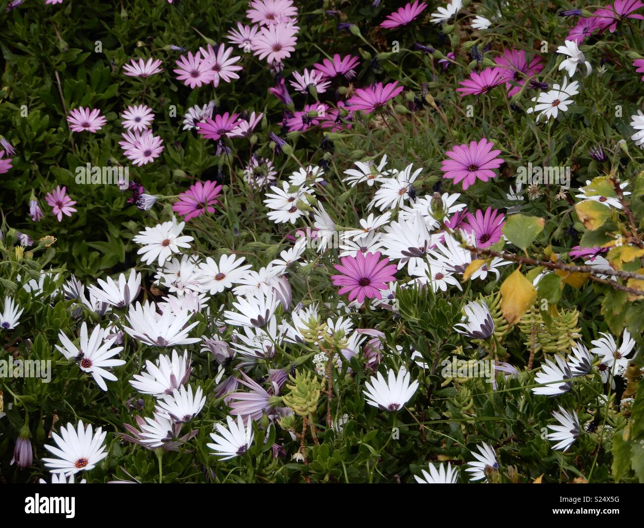 Simple and generous flowers, african Daisy - Stock Image