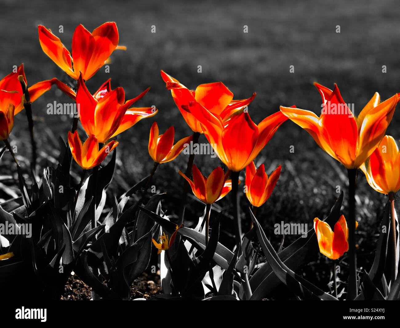 Colour popping spring tulips stock image