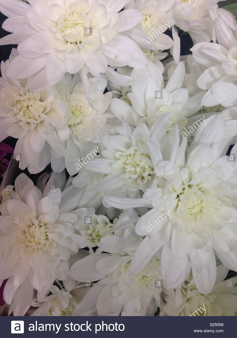 Lovely Vibrant Bunch Of White Flowers With A Pale Yellow Centre