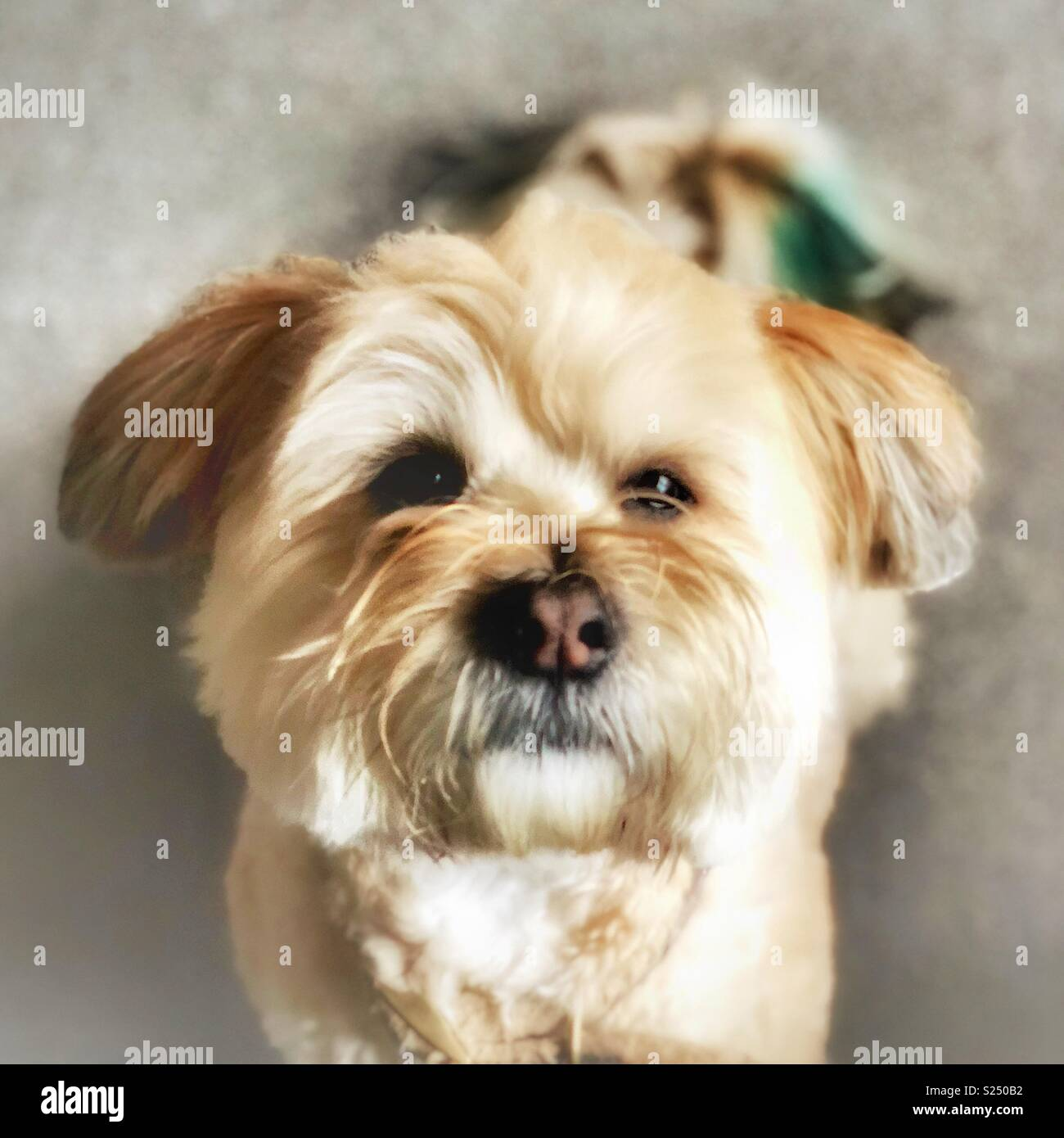 Lhasa Apso 2 Years Old Lhasa Apso Stoc...