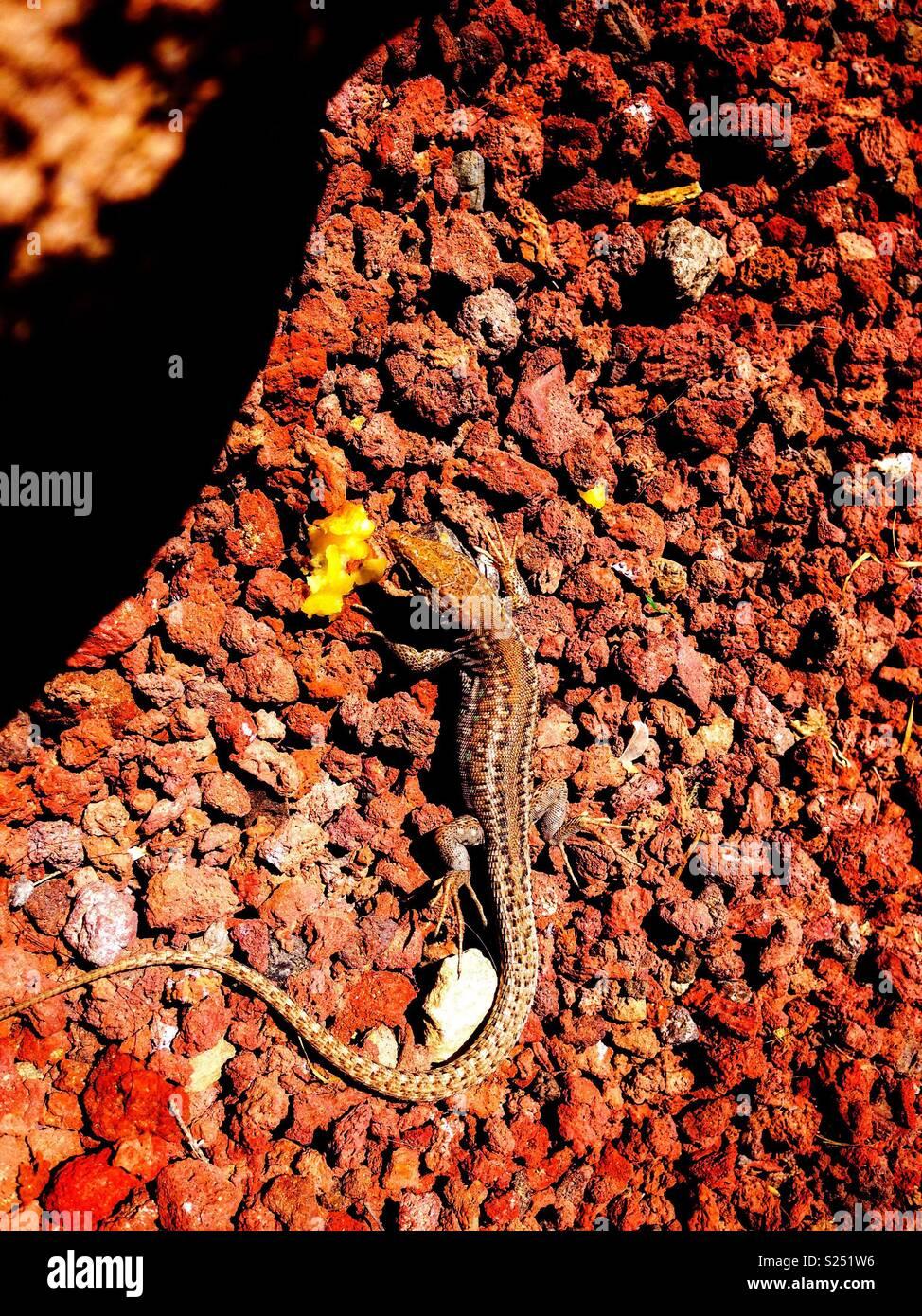 Basking Lizard - Stock Image
