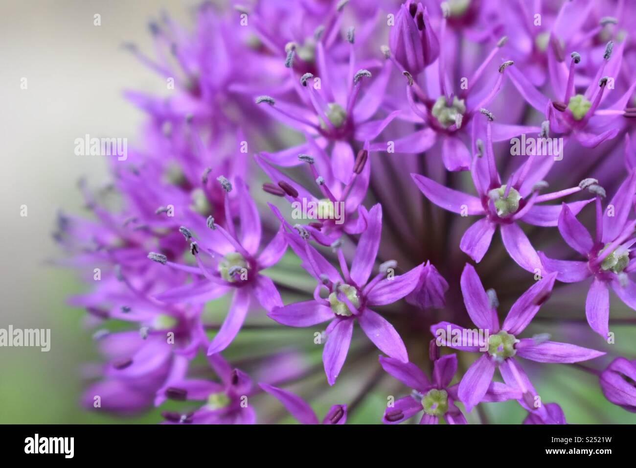Allium - Stock Image