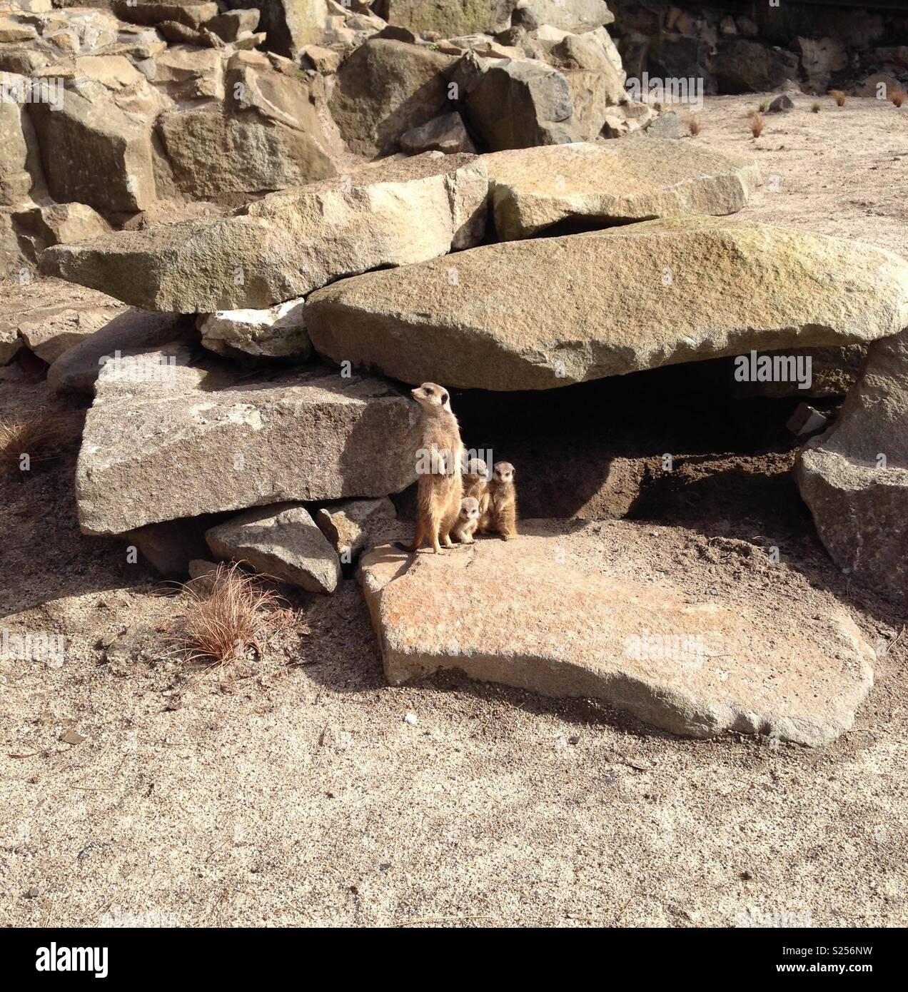 Meerkat mother and pups - Stock Image