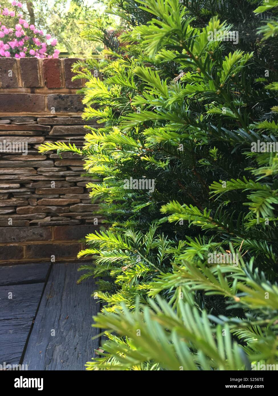 New growth of Yew hedge - Stock Image