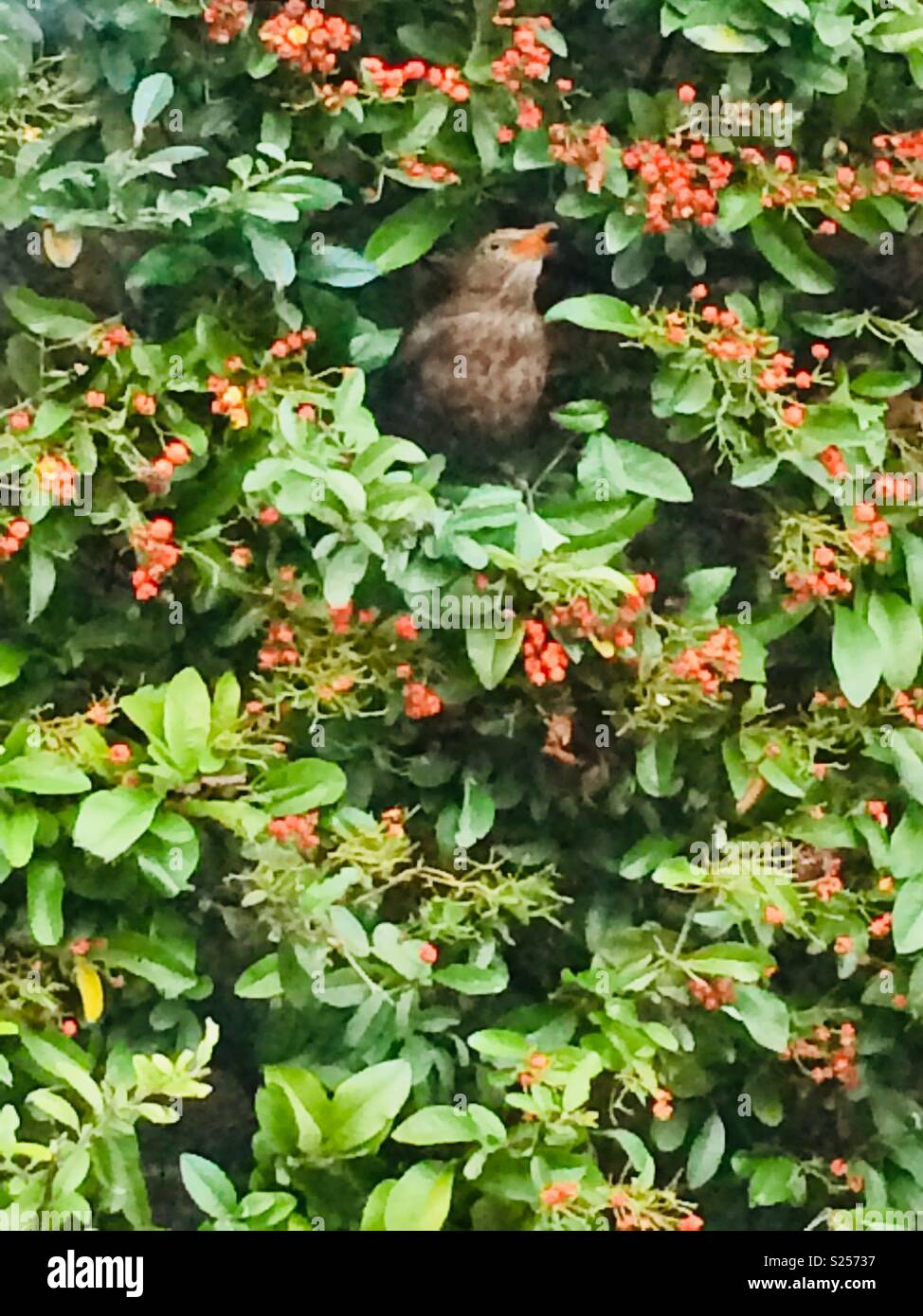 Bird eating a berry in the bush - Stock Image