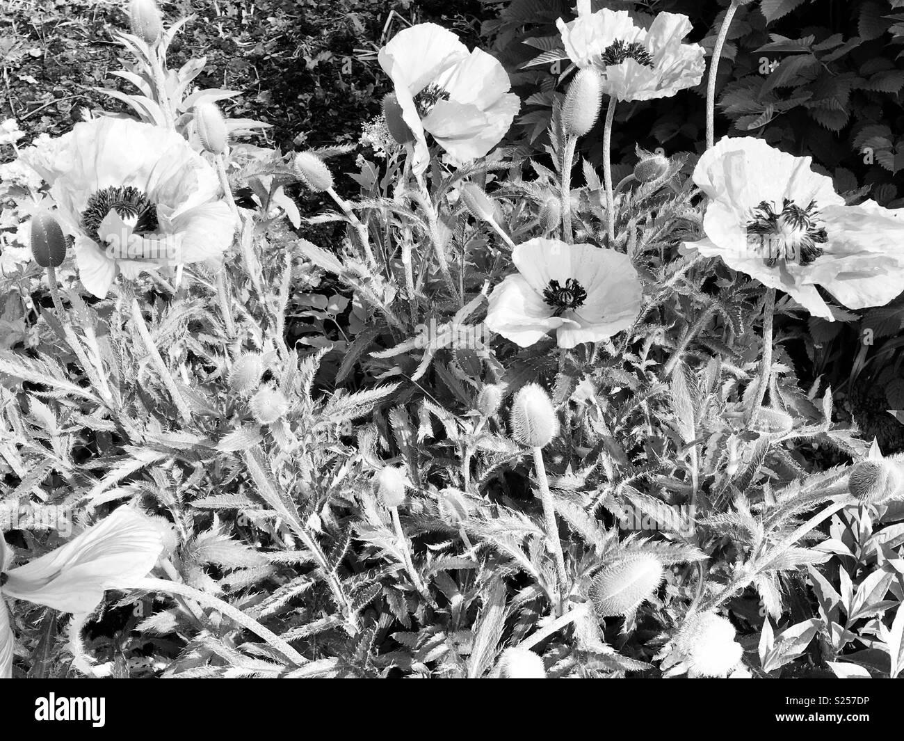 Black And White Poppies Stock Photos Black And White Poppies