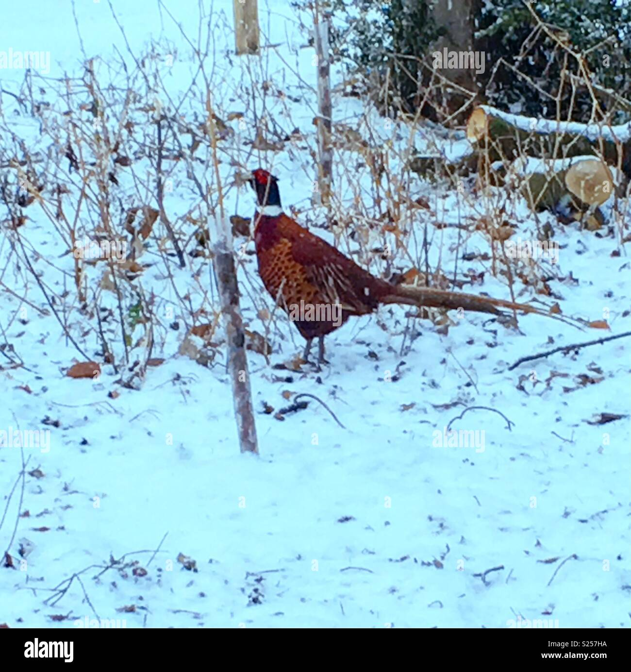 Pheasant Snow Stock Photos & Pheasant Snow Stock Images - Alamy