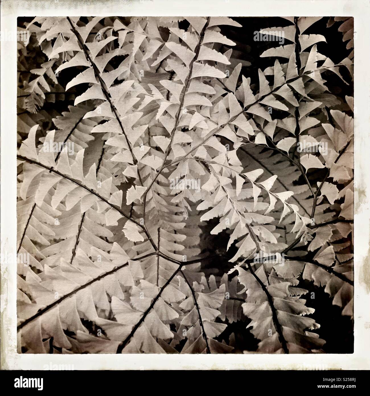 Monotone image of a spiraling fern frond - Stock Image