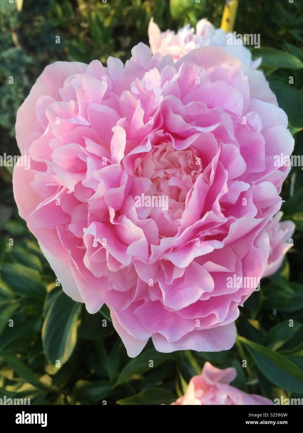 Beautiful Rose Bush Big Flowers Stock Photos Beautiful Rose Bush