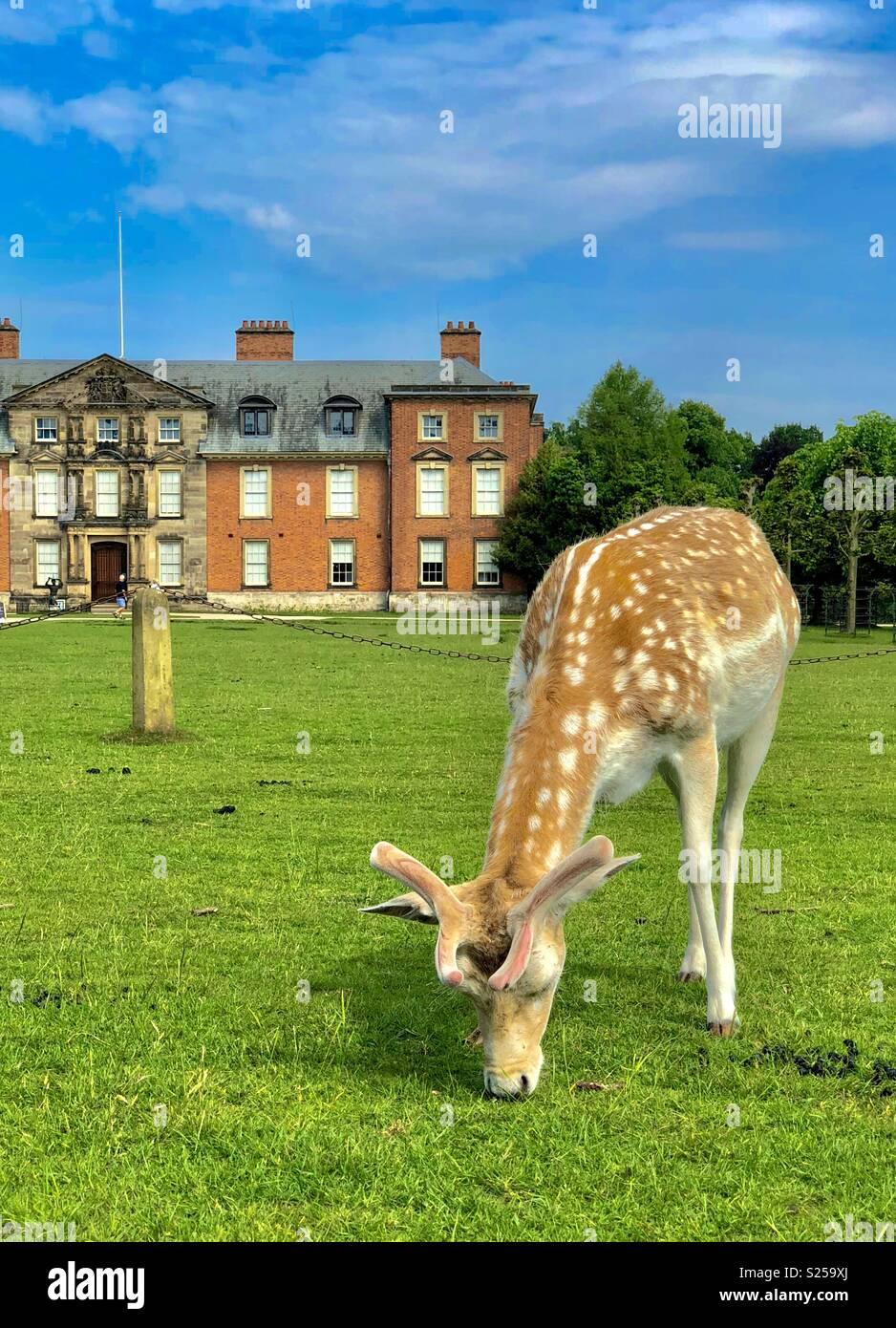 Fallow Deer at Dunham Massey, Cheshire. May 2018 - Stock Image