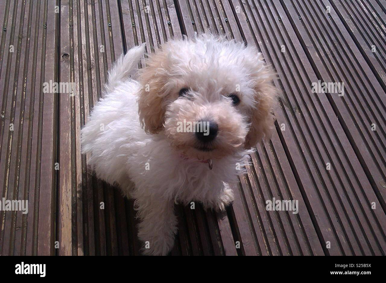 Puppy Cockerpoo Poppy on the decking! - Stock Image