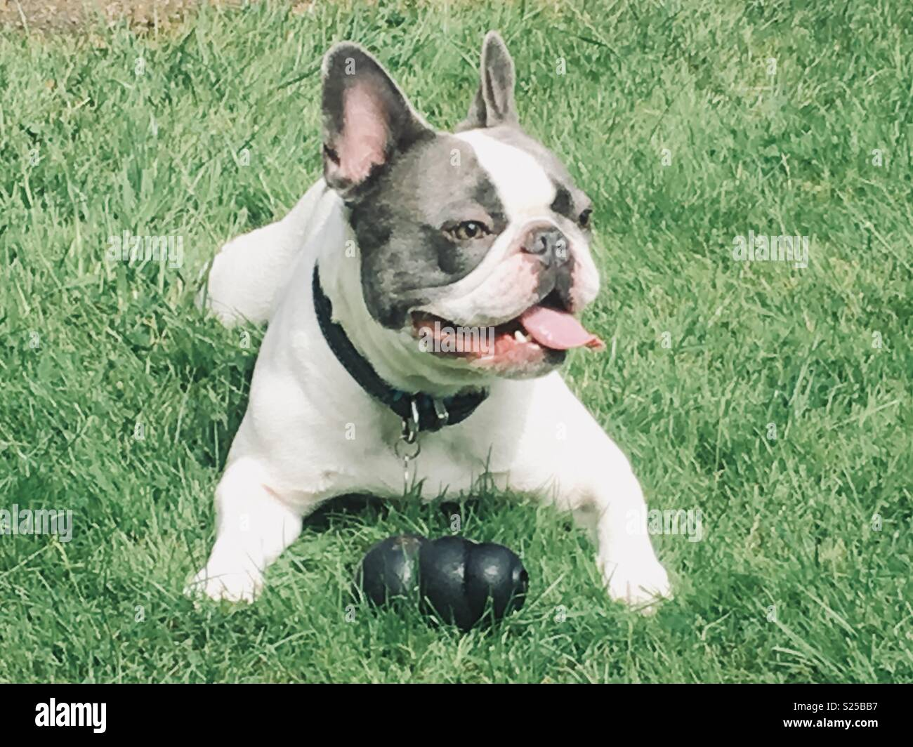 French Bulldog = Mans Bestfriend Stock Photo: 311134635 - Alamy