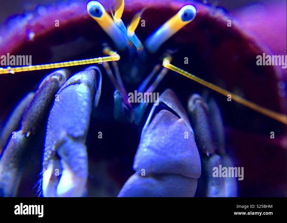 Reef Tank Resident Hermit Crab Macrophotography - Stock Image