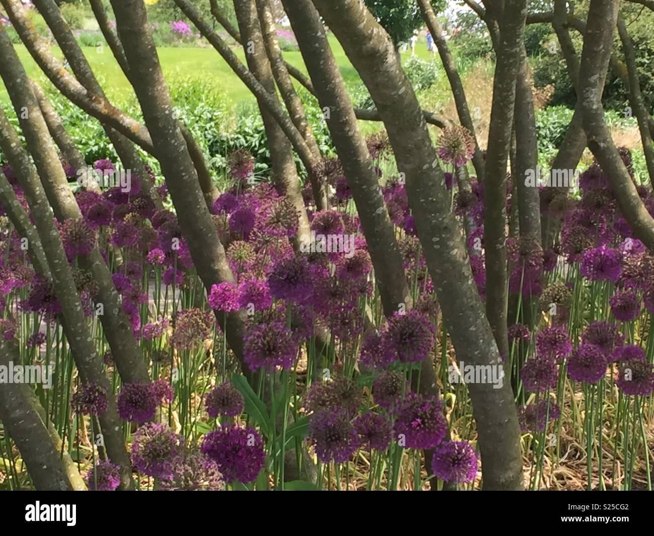 Purple alliums in trees - Stock Image