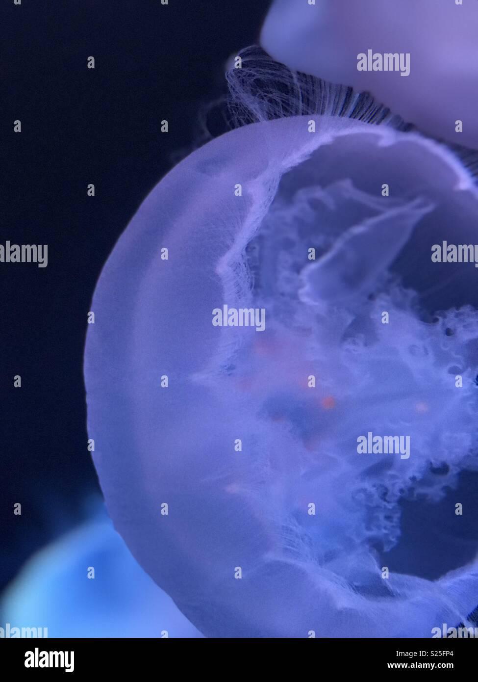 Jellyfish closeup - Stock Image
