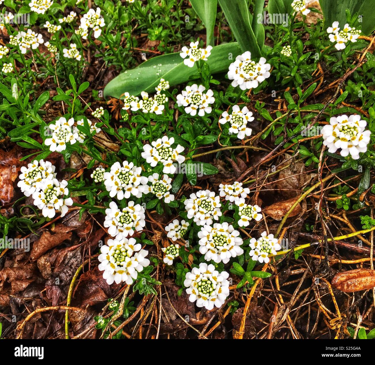 Clusters Of Tiny White Spring Flowers White Candytufts Stock Photo