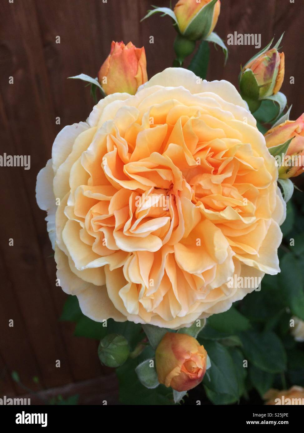 Peach coloured rose - Stock Image