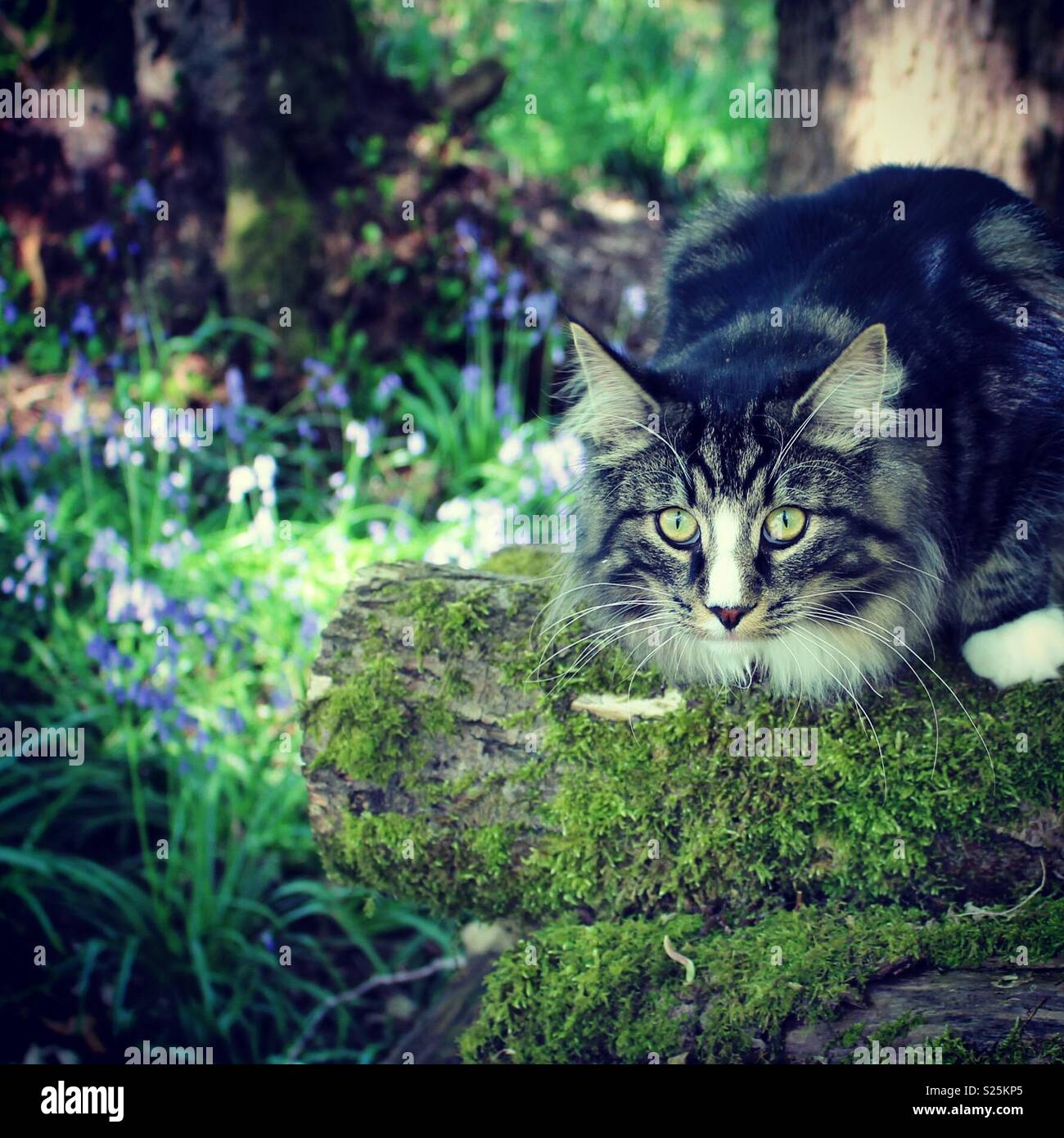 Cat on the hunt in the bluebell woods - Stock Image