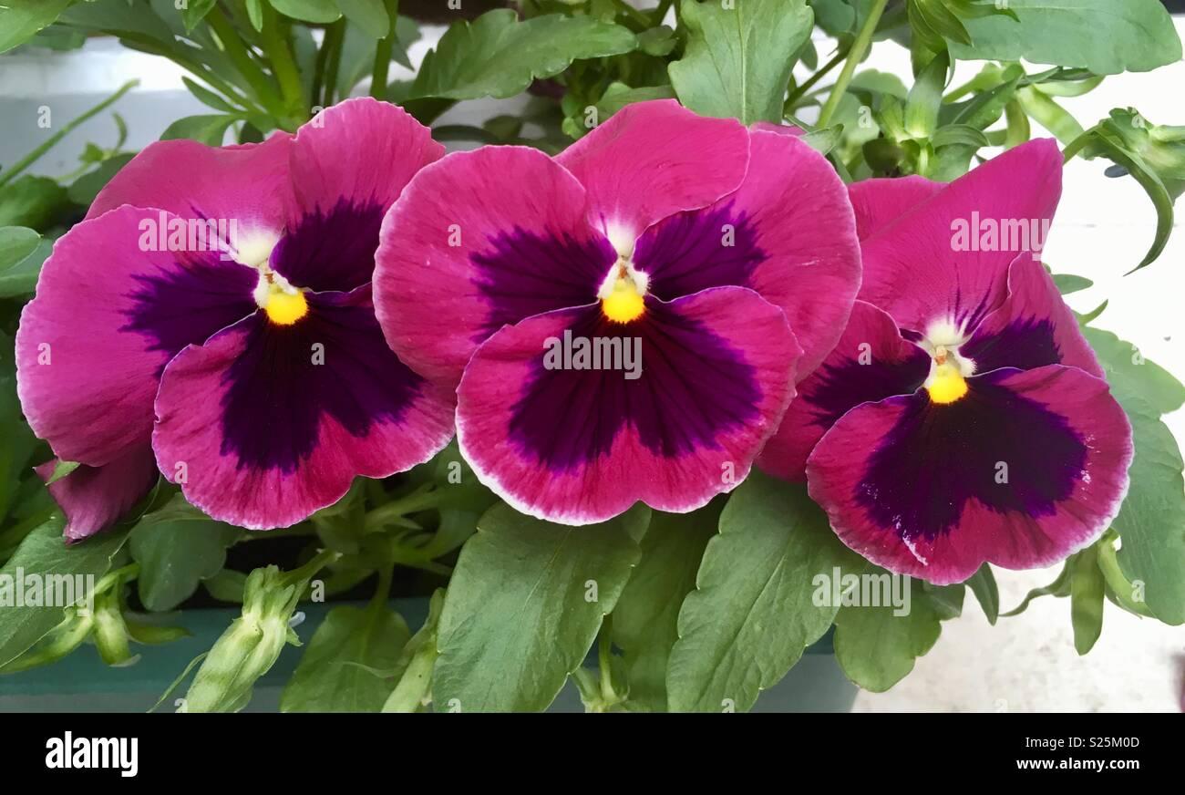 Viola tricolor var hortensis - pansy Flowers - Stock Image